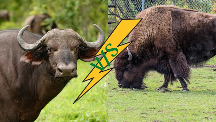 Bison vs Buffalo: What is the Difference